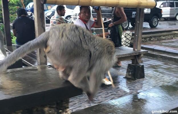 ウルワツ寺院の野生の猿
