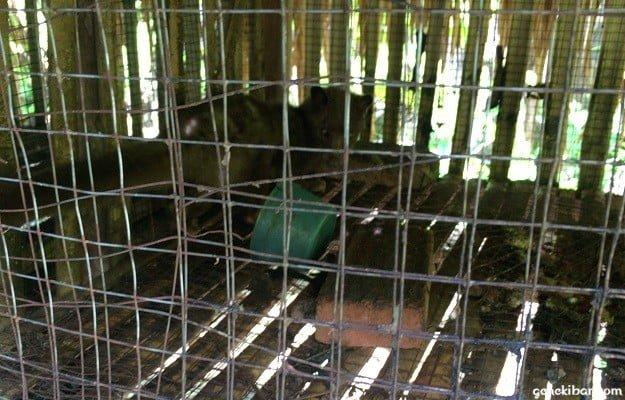檻の中にいるジャコウネコ