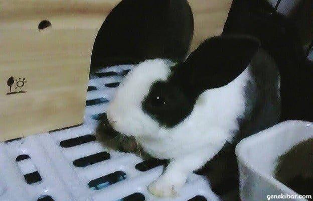 子ウサギのミニレッキス