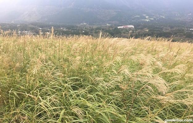 すすき草原黄金の絨毯