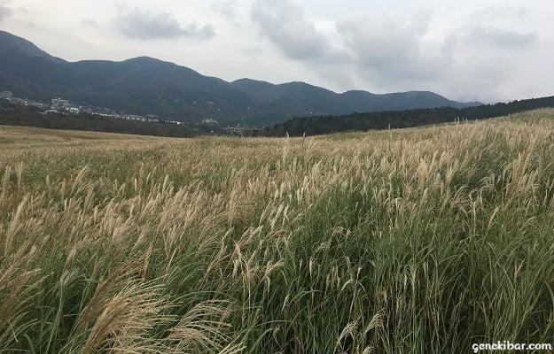 すすき草原黄金絨毯