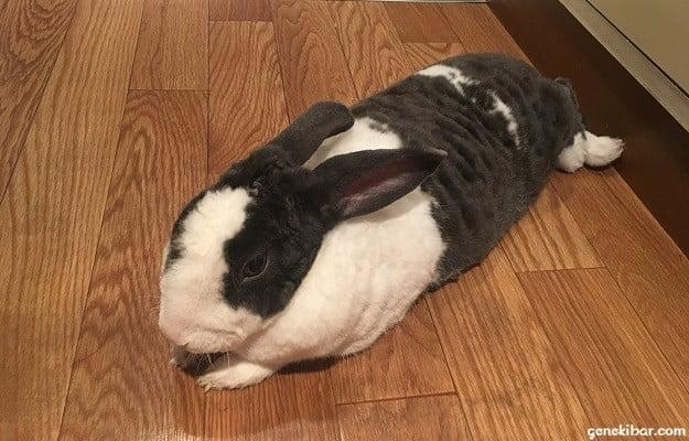 横になってくつろいでいるウサギ