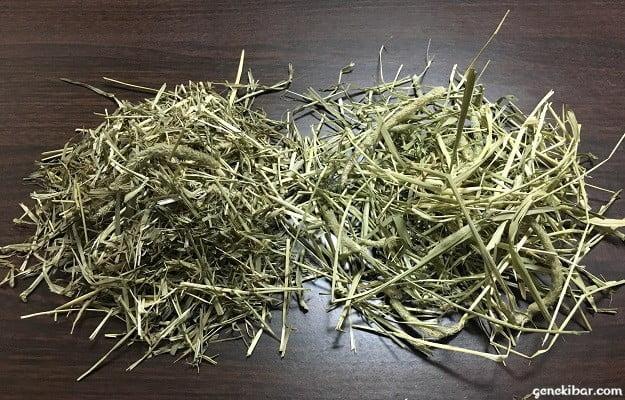 新旧パスチャーチモシーの牧草を並べたところ