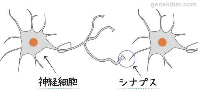 神経細胞とシナプス